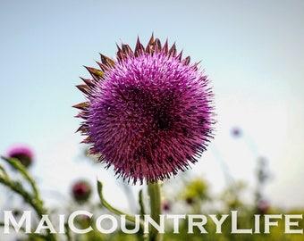 Big, Bright Purple Thistle Photograph - Digital Download