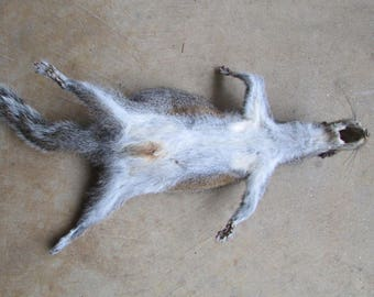 Complete tanned grey squirrel skin with tail and feet