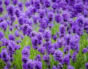 Organic Lavender flower