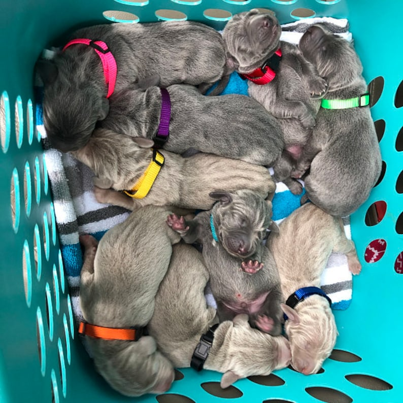 Nylon Sets FURBABIES-Puppy ID Whelping Collars