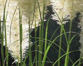 Pampas Grass photo card