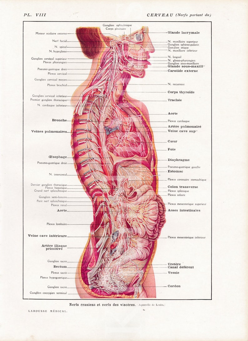 Brain /& Nerves Anatomy plate French vintage original print 1920/'s Medical curiosity cabinet science illustration to frame wall art human