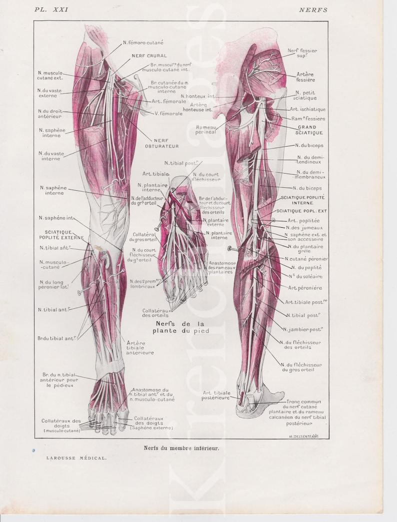 Legs Nerves Anatomy Plate French Vintage Original Print Etsy