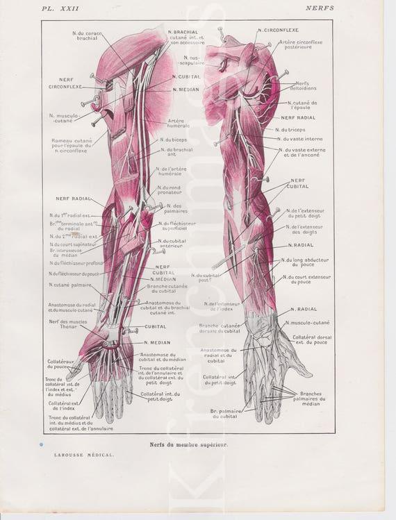 Arms Nerves Anatomy Plate French Vintage Original Print Etsy