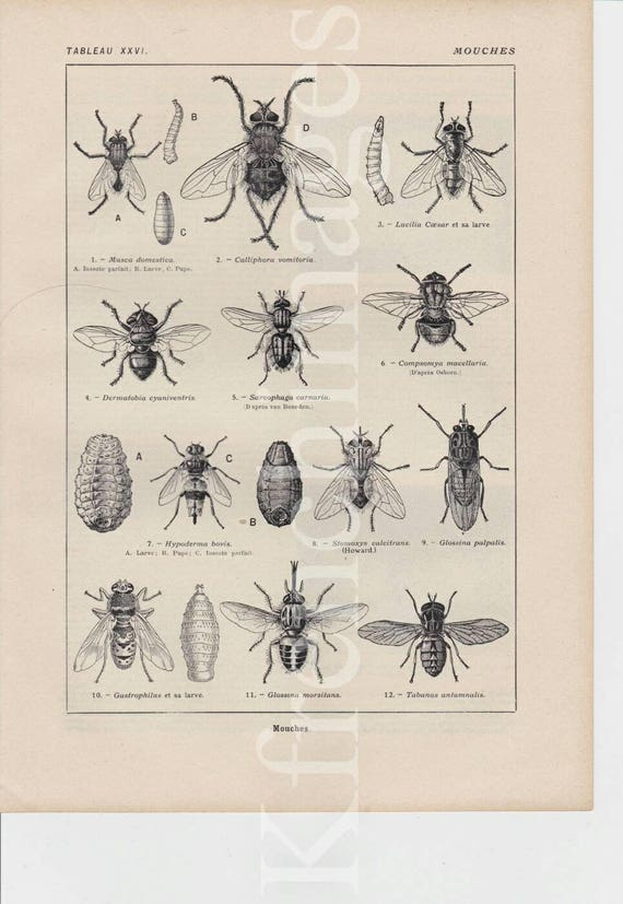 1920/'s french vintage original print color illustration Arthropods Butterflies Insects curiosity cabinet lobster