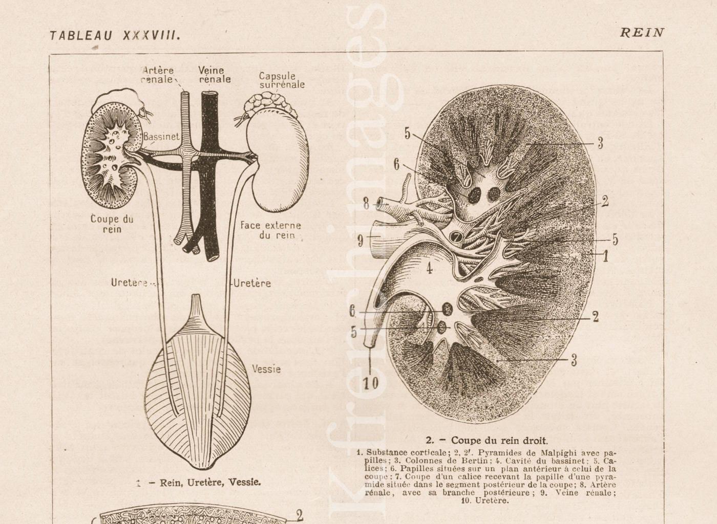 Niere Anatomie Platte Französisch Jahrgang Druck 1920 | Etsy