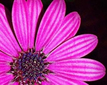 Cape Cod  Photograph Pink  Cape  Daisy 10x10