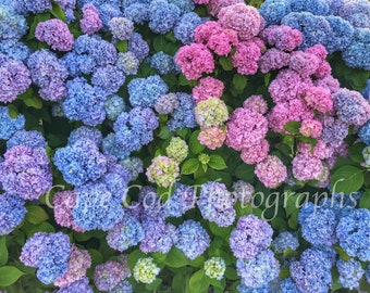Cape Cod,   Hydrangeas,  Flowers, Pink and Purple, Summer Color, Flower Wall Art, Beach Decor, Cape Cod Art, Housewarming Gift,FLower Photo