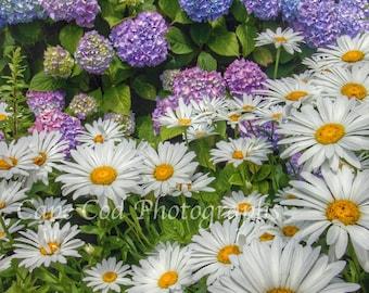 Cape Cod, Daisies,  Hydrangeas, Chatham, Summer Flowers, Cape Cod Art, Chatham Square, Chatham Cape Cod, Cape Cod  Photos