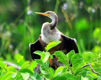 Everglades - Anhinga - 2