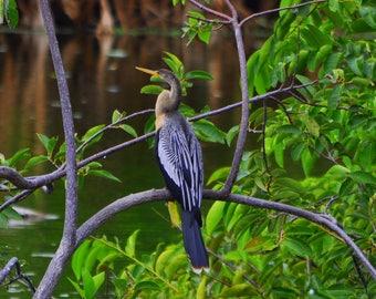 Everglades - Anhinga 1