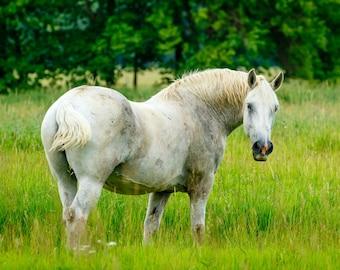 Horse Photography, Horse Print, Photo of a Horse, White Horse, Draft Horse, Work Horse, Percheron, Country Photography, Horse Art