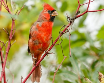Cardinal Photography, Cardinal Print, Bird Photography, Red Bird, Songbird, Nature Photography, Bird Art, Bird Lover Gift