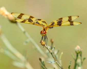 Dragonfly Photography, Dragonfly Print, Halloween Pennant Dragonfly, Insect Photography, Nature Photography, Dragonfly Gift
