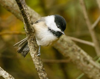 Black-capped Chickadee Print, Chickadee Photography, Bird Photography, Wildlife Photography, Bird Art, Songbird, Bird Lover Gift