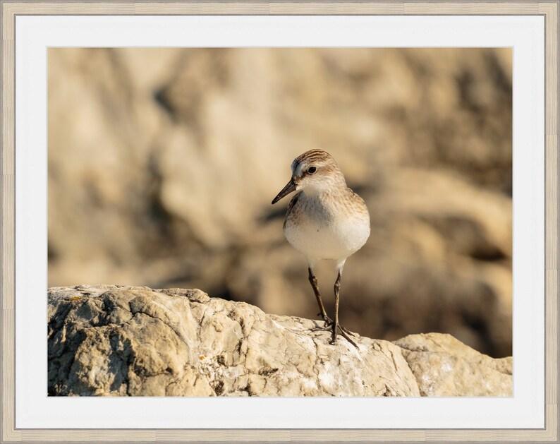 Sandpiper Picture Nature D\u00e9cor Semipalmated Sandpiper Photo Shorebird Picture Sandpiper Print Shorebird Print Lake Michigan Photograph