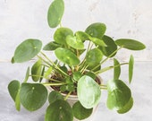 Pilea Peperomioides - Chinese Money Plant - Pancake - UFO - Pepperoni - Plant - Easy care house plant - 4 Houseplant