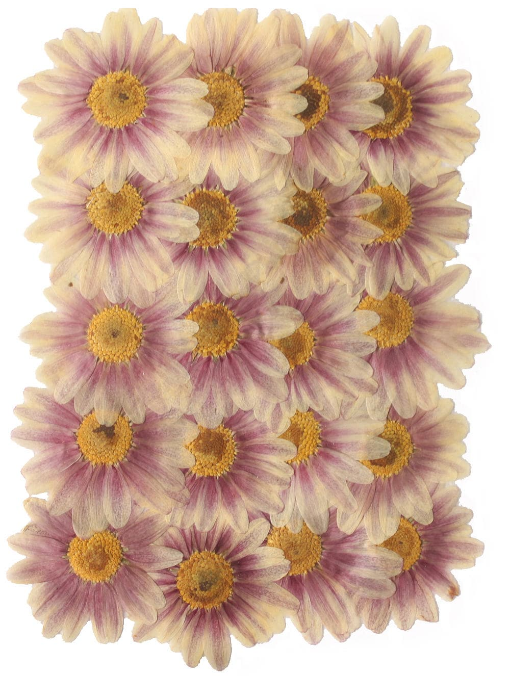 Pressed Flowers Large Daisy 20pcs For Floral Art Craft Card Etsy