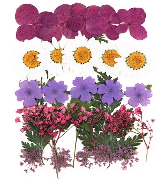 pansy violet 20 pi/èces pour lart floral fabrication de cartes artisanat fleurs press/ées