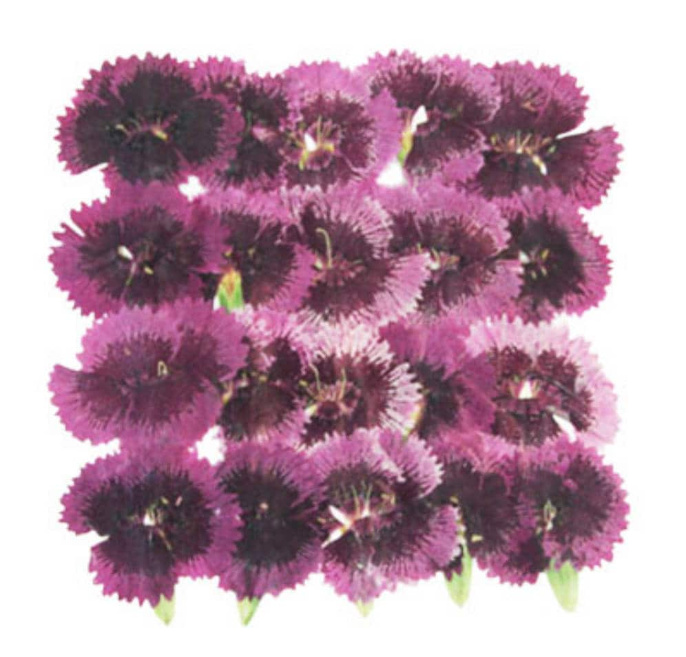 Pressed Flowers China Pink Tulips Dianthus Chinensis 20pcs Etsy