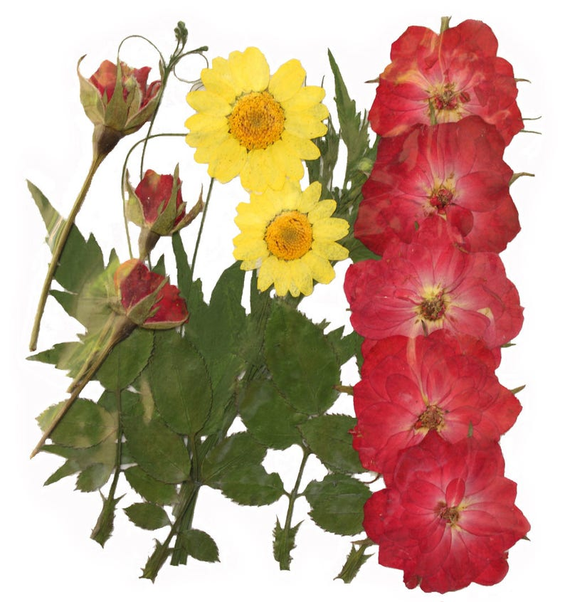 pressed flowers red rose buds bloomed red rose marguerite rose leaves foliage