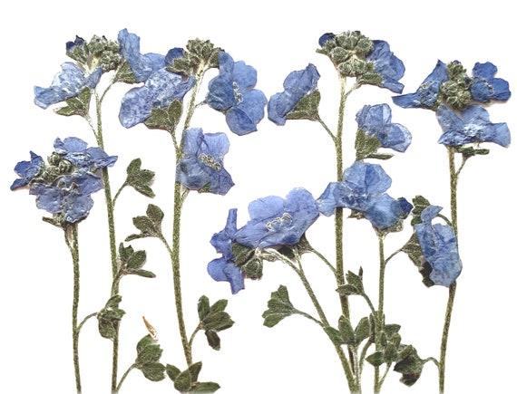 Very High Quality Pressed Dried British Forget Me Not Myosotis Flower 20pcs