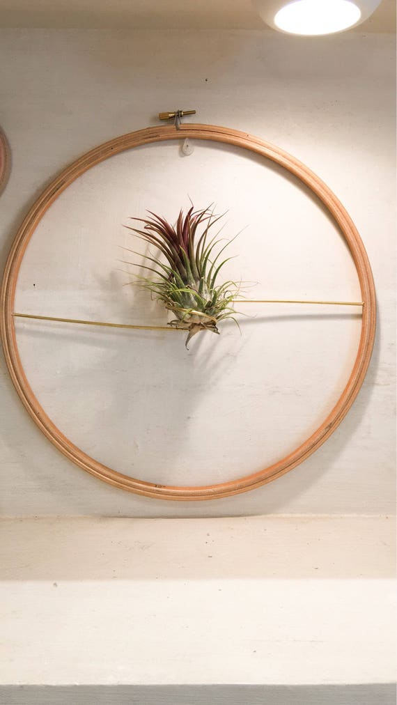 Aerial plant tillandsia with support