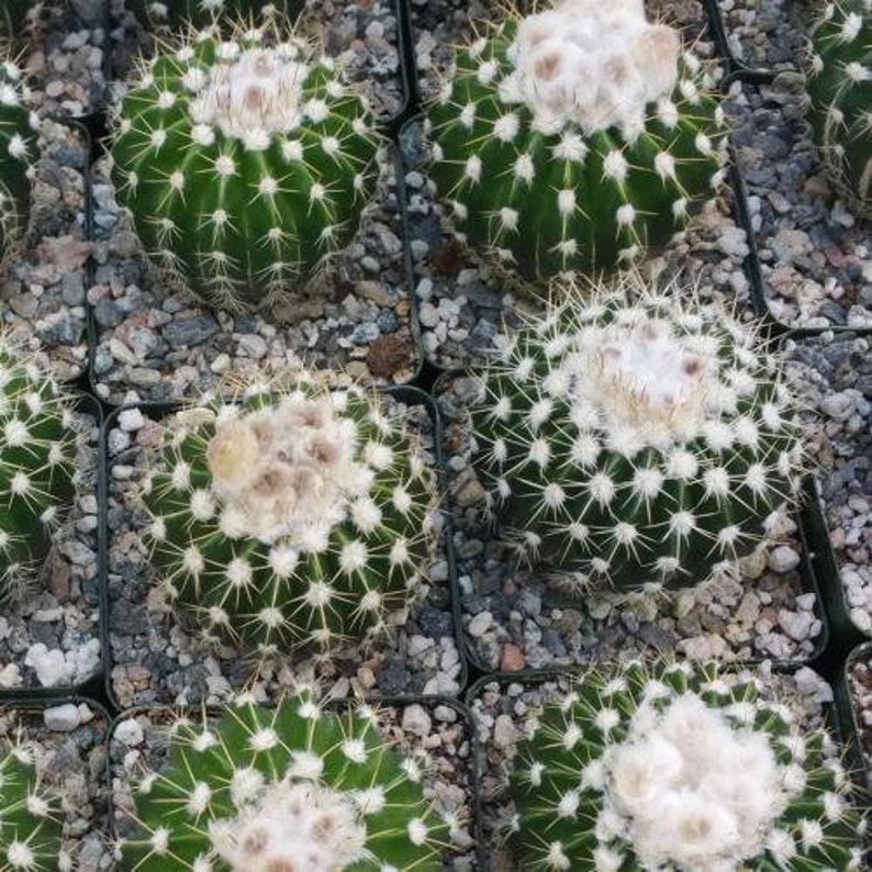 Wigginsia leprosorum Cactus Cacti Real Live Succulent Plant