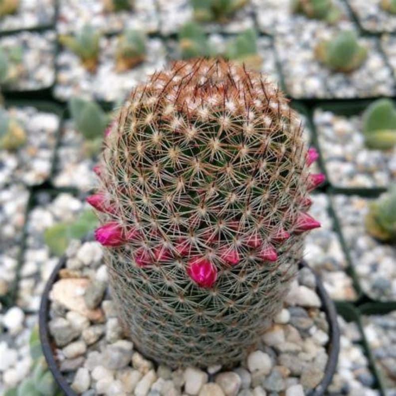 Mammillaria matudae  Cactus Cacti Real Succulent Live Plant
