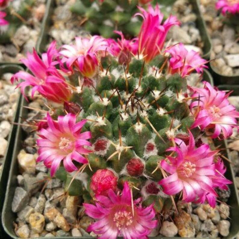 Mammillaria bucareliensis  Cactus Cacti Real Succulent Live Plant