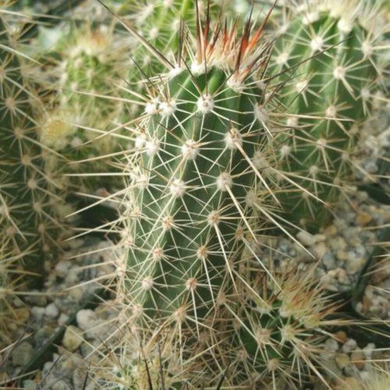 Echinocereus ferreirianus Cactus Cacti Succulent Real Live Plant