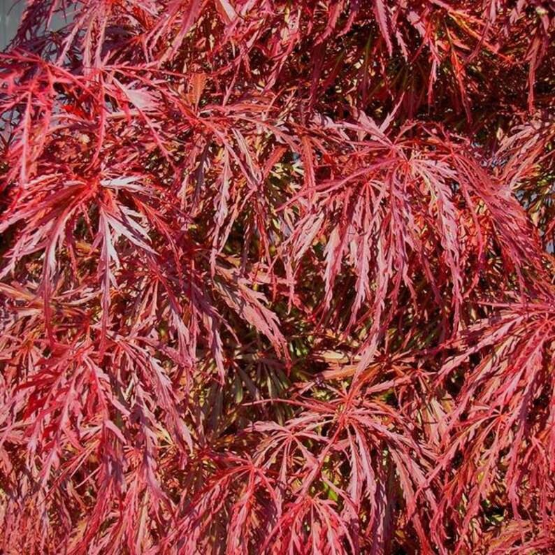 25 Seeds Crimson Queen Acer Palmatum Dissectum Etsy