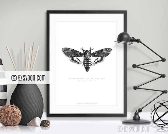 Deaths Head Hawk Moth in Back or White Box Frame Acherontia atropos