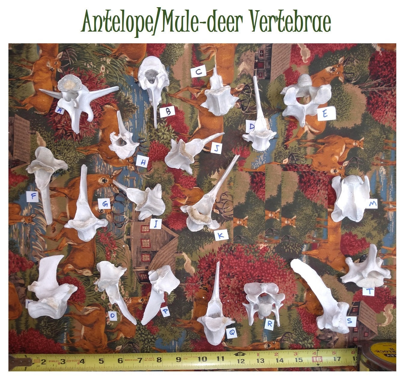 Your Choice of Assorted Wild Antelope Vertebrae FOUND (and gently simmered  CLEAN)  Some may be Mule-deer  Weathered/Natural Wild Animal Bone