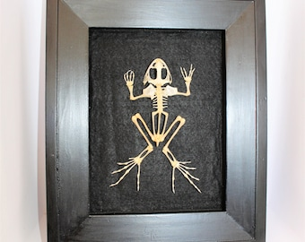 Taxidermy Frog Skeleton