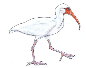 note cards:  ibis