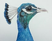 "Penner the Peacock Limited Edition Watercolor Print with 3"" Matting"