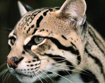 Ocelot counted cross stitch kit