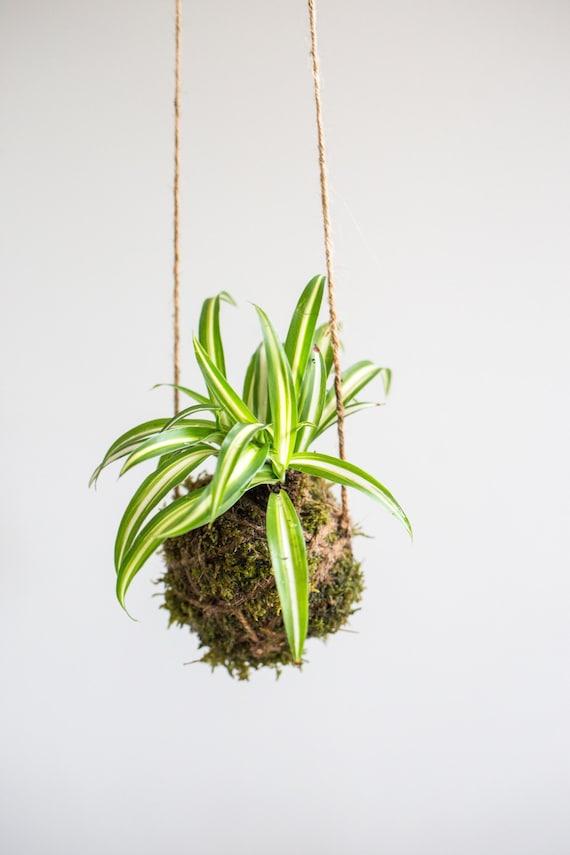 Kokedama Ball, Spider Plant on