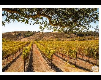 Vineyard landscape - California - Art Print - Photography