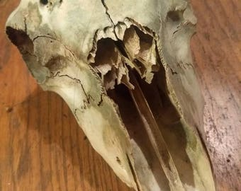 Naturally Cleaned Real Sheep Skull