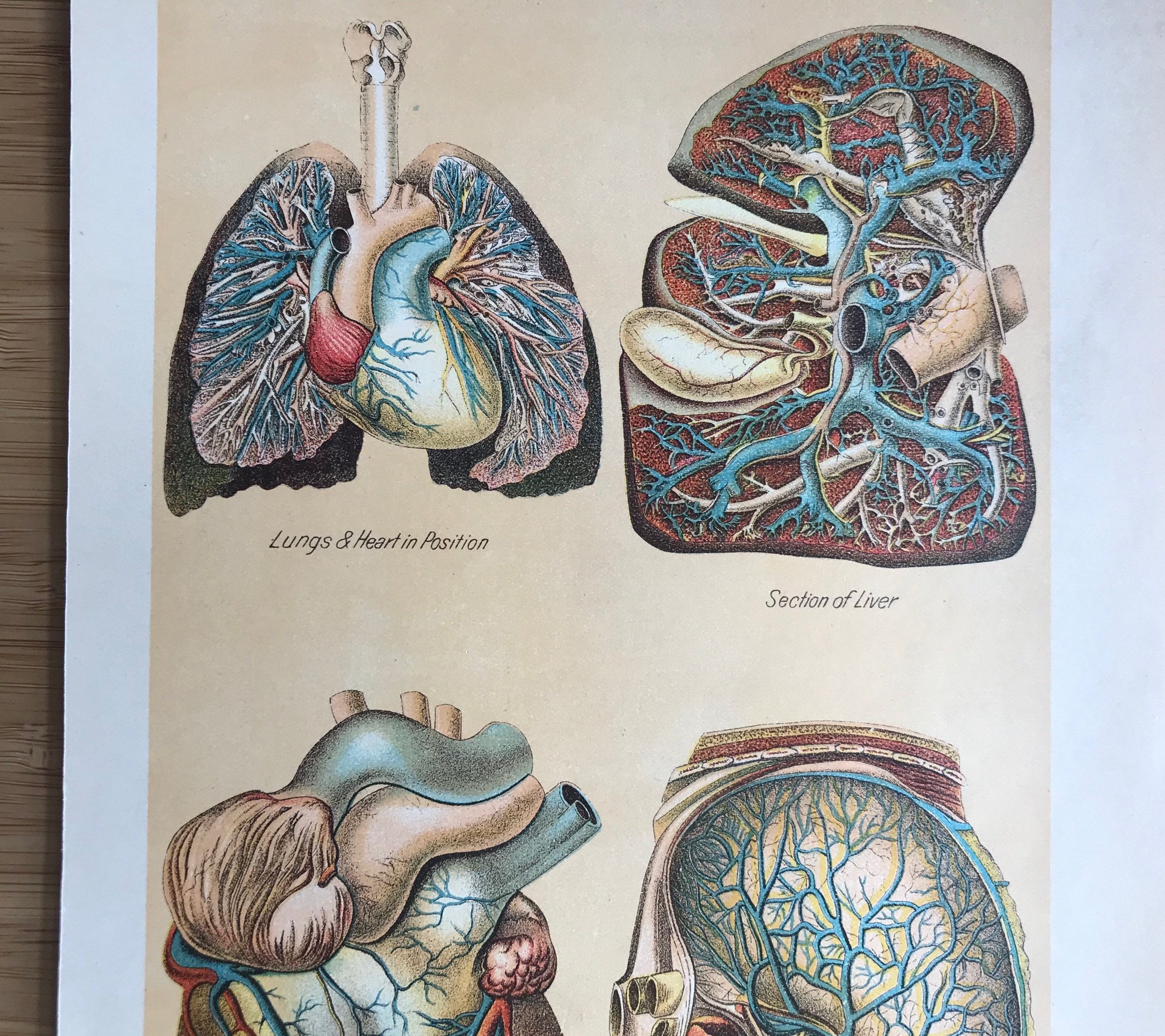 Antique Anatomy Medical Bookplate Human Internal Organs Heart Etsy