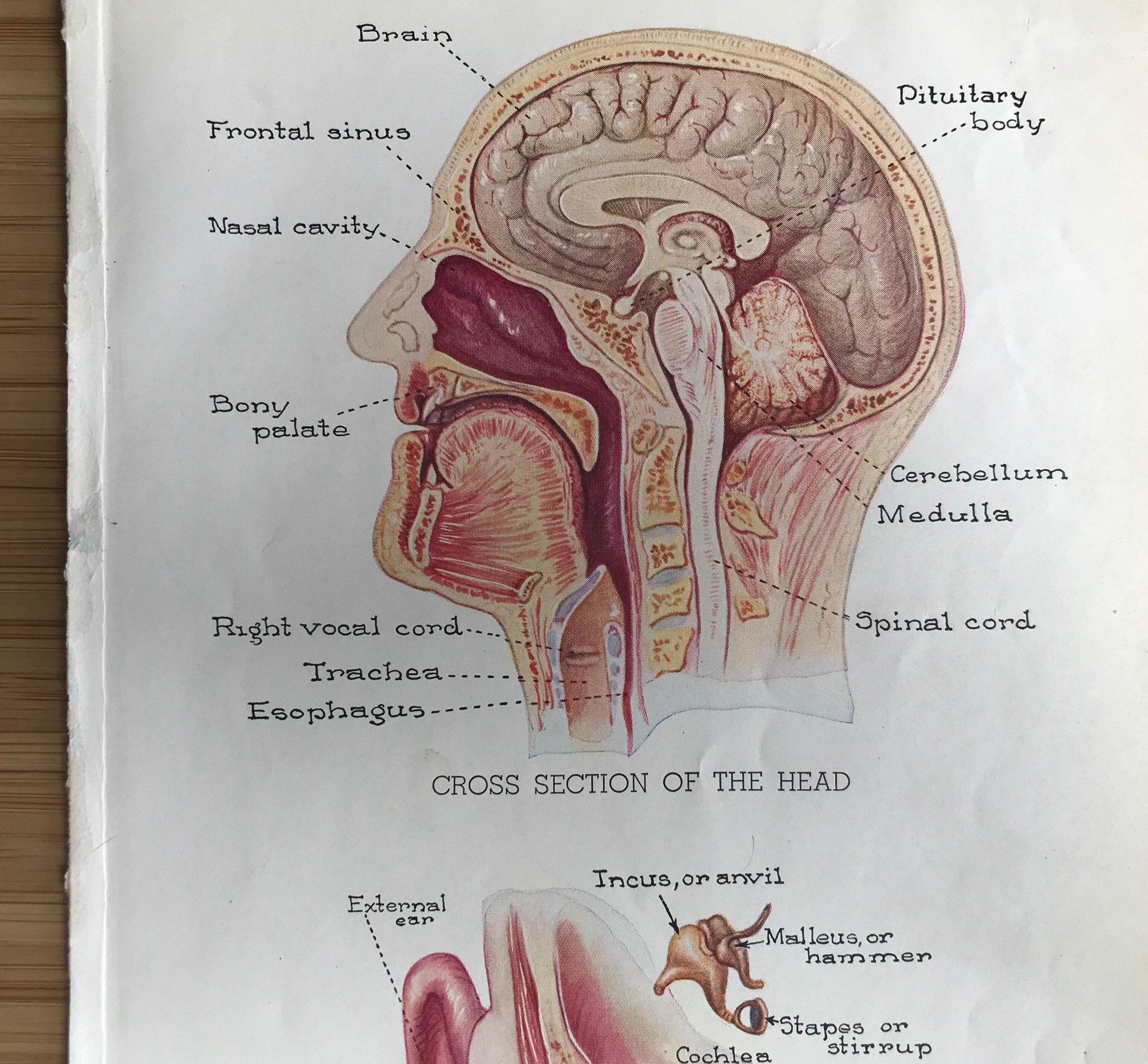 ORIGINAL antike medizinische Kunstdruck Anatomie Ohr und seine | Etsy