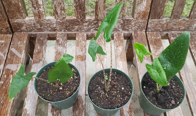 Alocasia Zebrina Elephant Ear about 12 Tall growing in a 6 pot