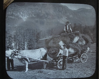 3 Men Working With A Ox Hay Cart -  Black & White Glass Lantern Slide. ~ 1900's