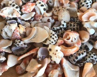 Hawaiian drupe and miter shell fragments, broken shells, shell pieces