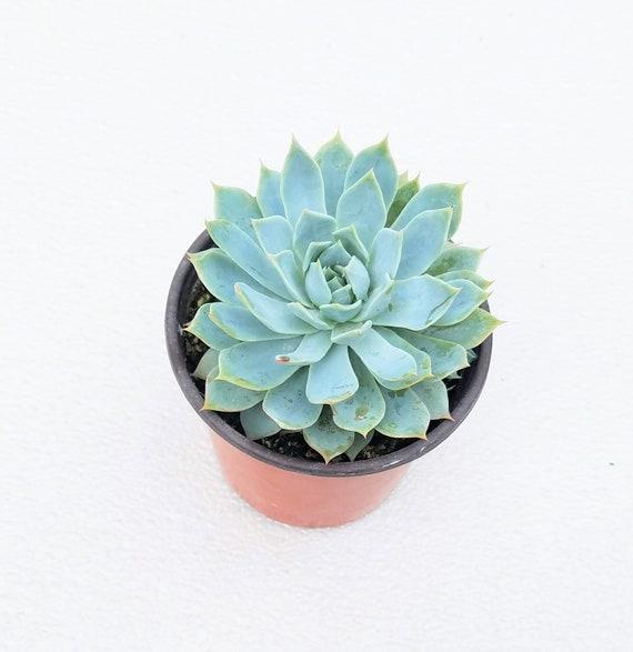 """Sempervivum /""""Blue Bird/"""" 1 jeune plante"""