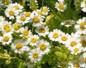 300 FEVERFEW Tanacetum Parthenium Herb Flower Seeds