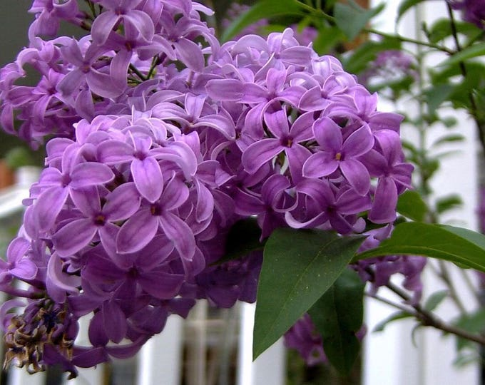 25 FRENCH / Old FASHIONED LILAC Syringa Vulgaris Flower Shrub Bush Seeds