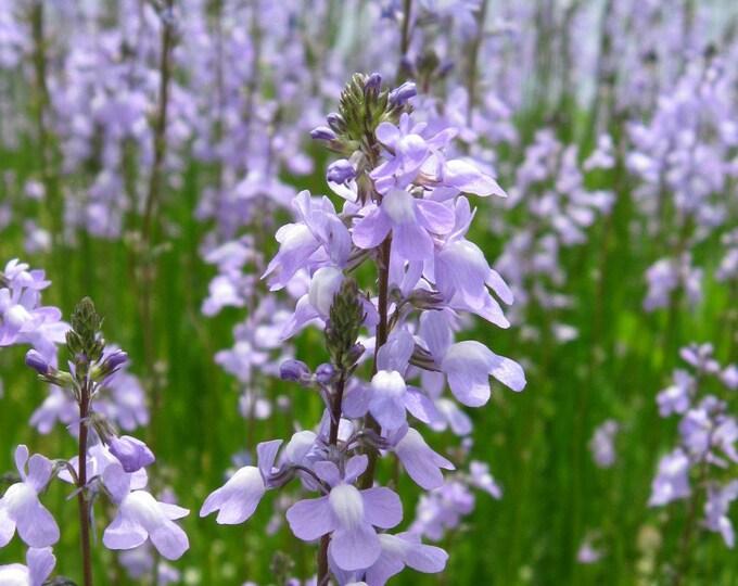 100 BLUE TOADFLAX Linaria Canadensis Antirrhinum Canadian Flower Seeds
